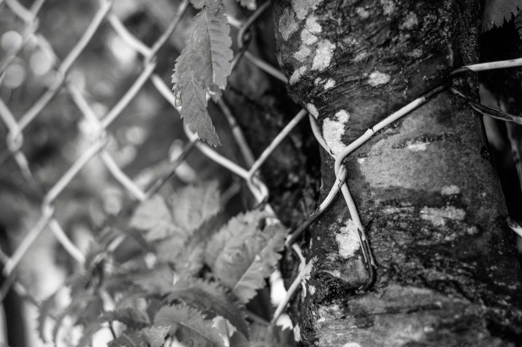 Puun lehtiä ja koivun runko, joka on kasvanut metallisen verkkoaidan ympärille niin että aita on jäänyt rungon sisälle.